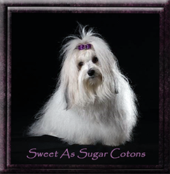 Sweet As Sweet As Sugar Cotons Logo for Breeders of Excellence